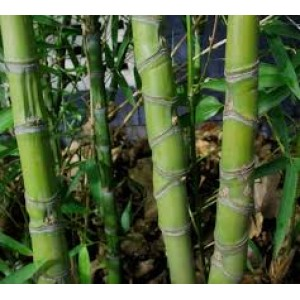 Bamboe Hydrolaat