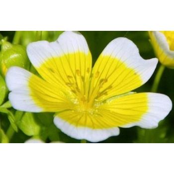 Meadowfoamolie (Lavida Care)